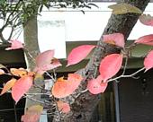 サクラの葉っぱ