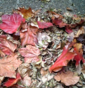 つたの枯れ葉