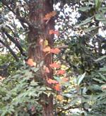 大きなつたの葉