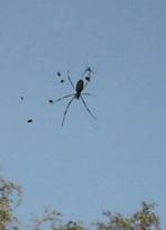 ジョロウグモの雄と雌