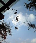 虫を捕獲するジョロウグモ