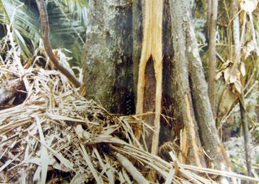 原生林における生息状況